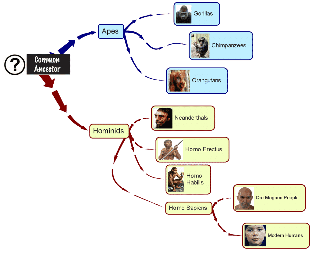 hierarchical visual of hominids & apes sharing a common ancestor